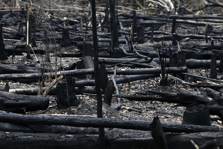 Árboles quemados en la selva amazónica brasileña.